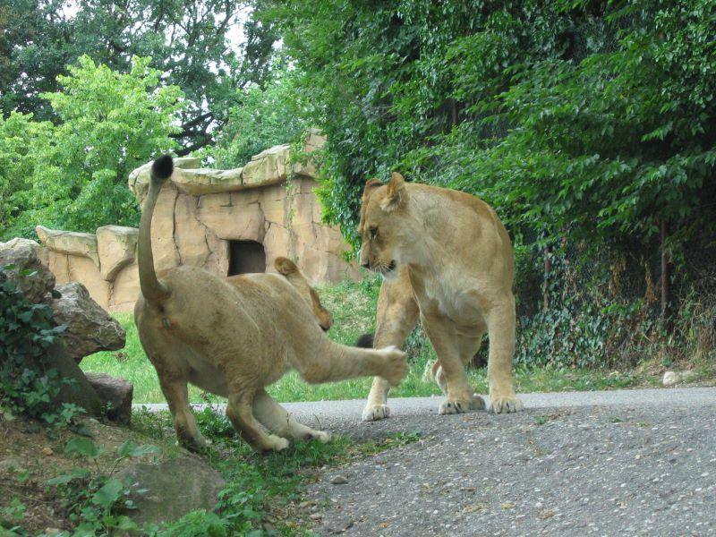 Löwen Spiele