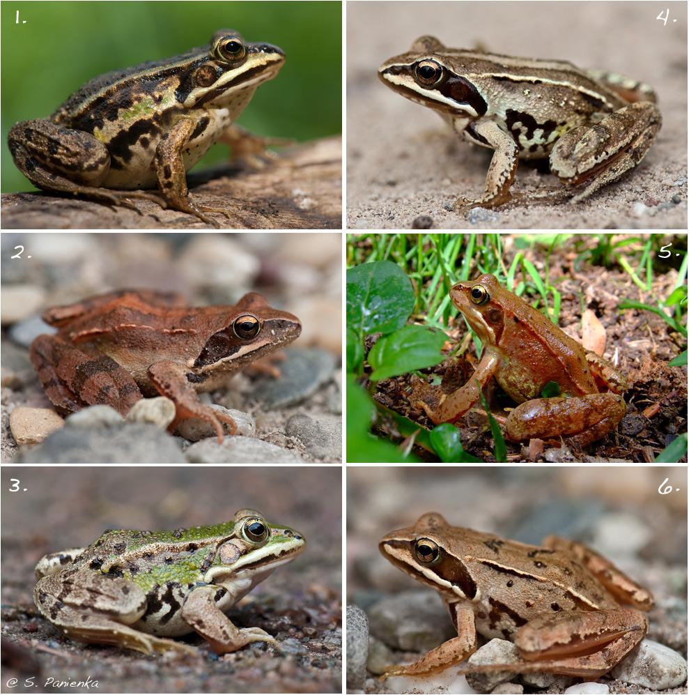 Ein Frosch-Rätsel (Forum für Naturfotografen)