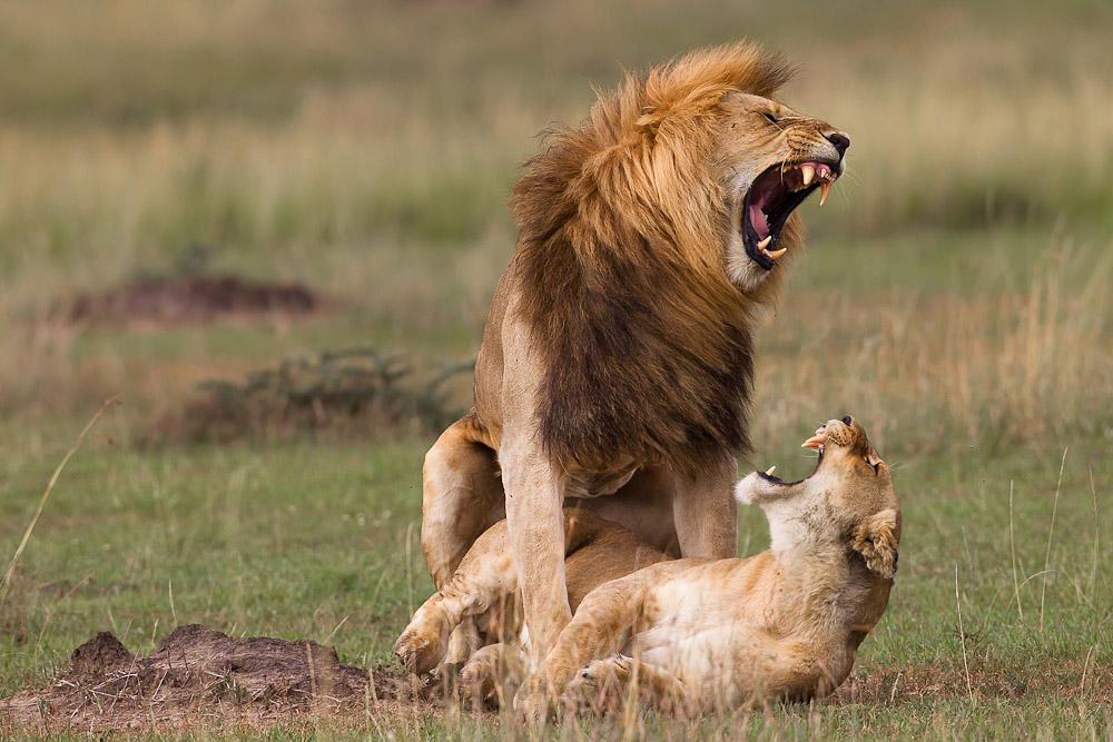 Löwen Penis