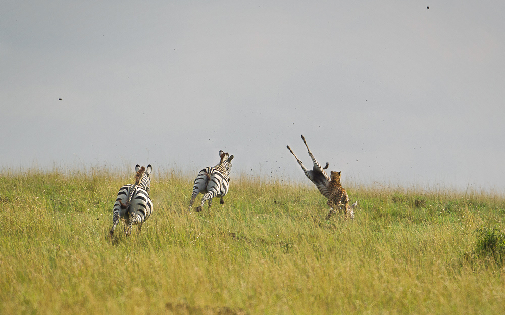 Cheetah vs. Zebra