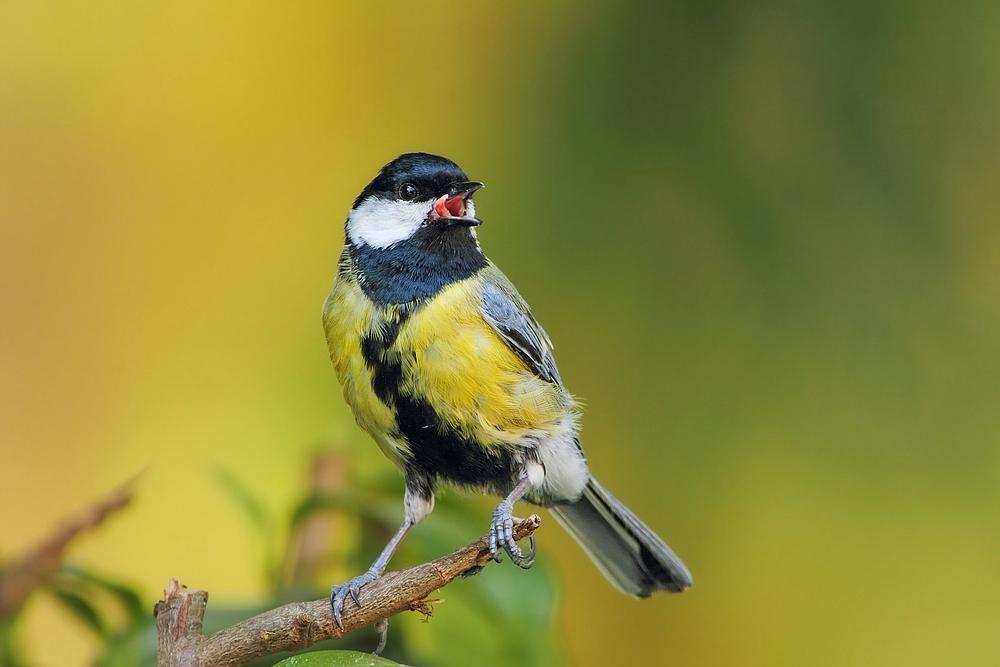 Singender struppi forum für naturfotografen