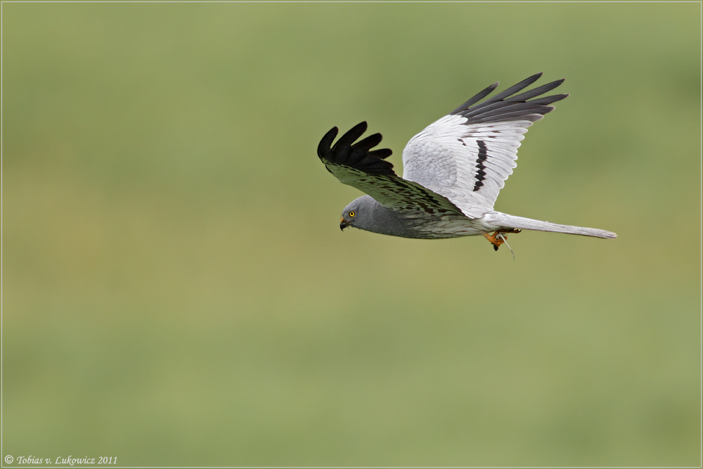 Wiesenweihe Flugbild