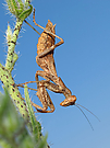 Weibliche Fangschrecke ( Ameles spallanzania) (4)