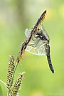 ...Leucorrhinia caudalis...