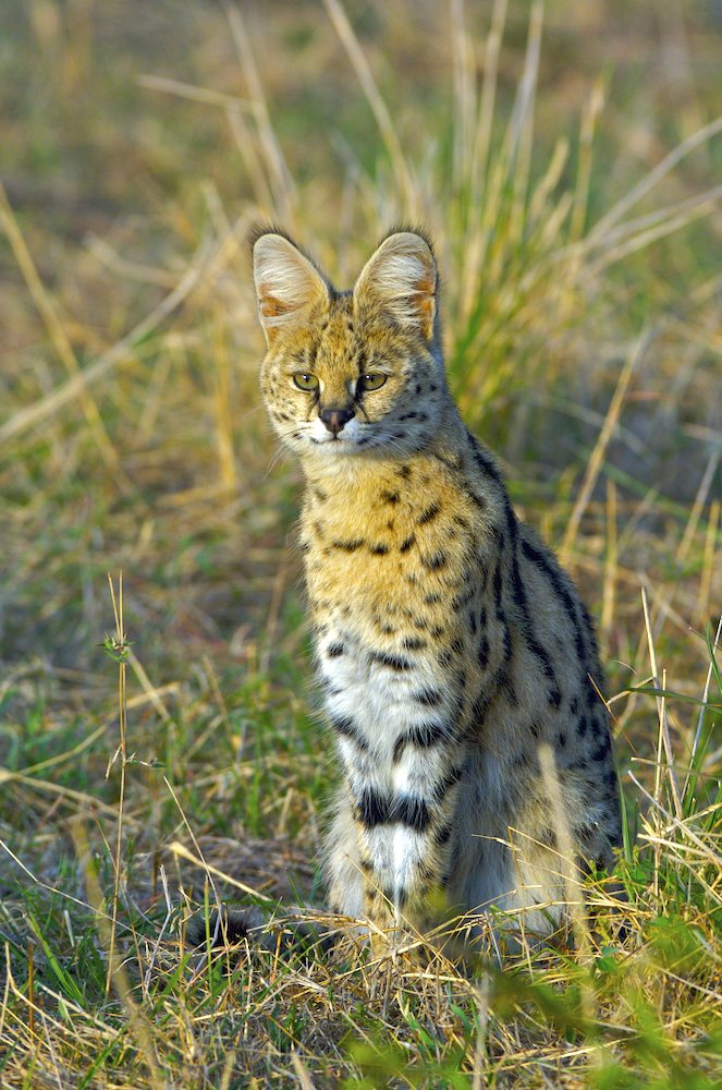Serval in der Mara ND