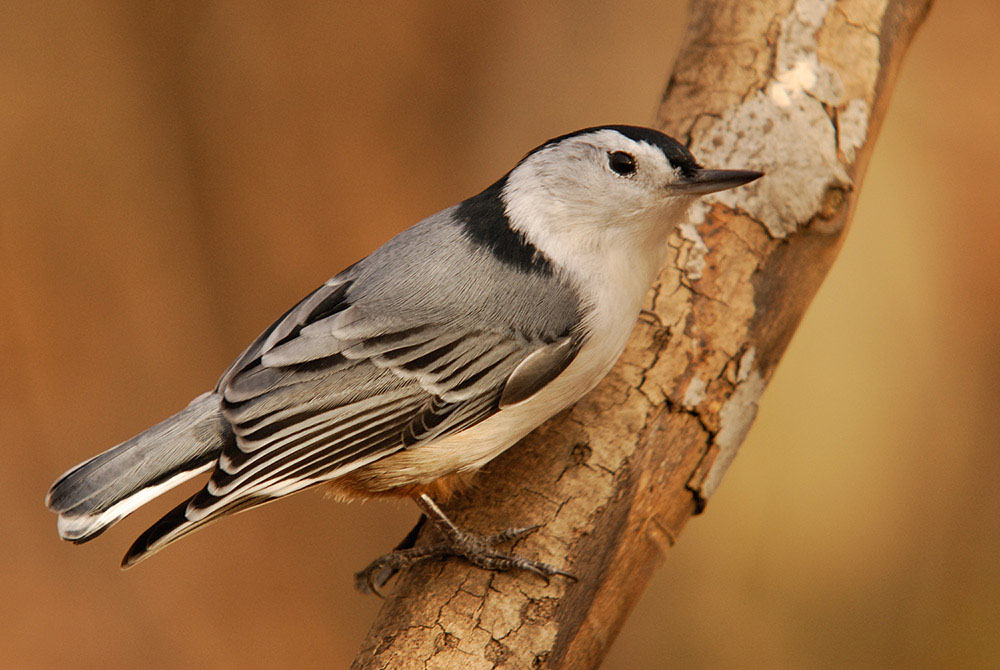 White-Breasted Nuthatch (ND)