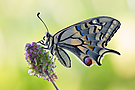 ~Papilio machaon~