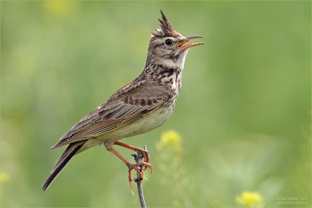 Vogel Lerche