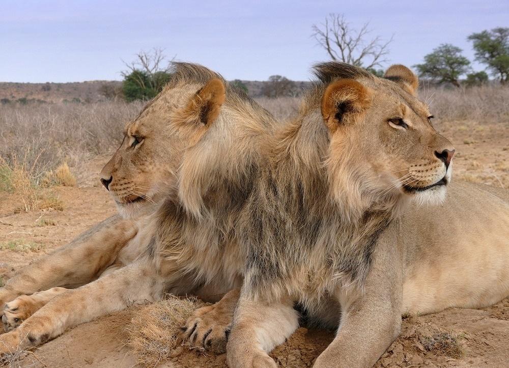 zwilling und löwe