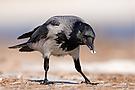 Die Superhirne unter den Vögeln