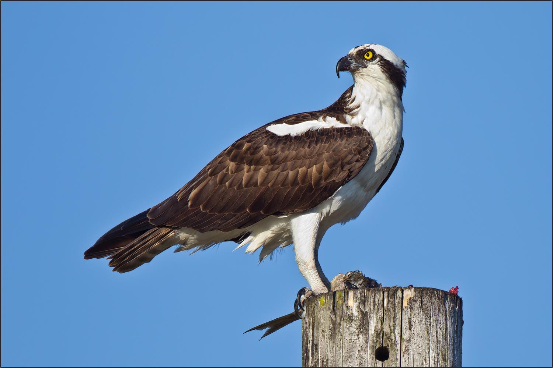 how to get hawks eye eso