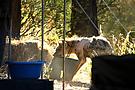 Hyänen grillieren