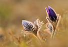 Kuhschelle ... der Frühling hat begonnen ...