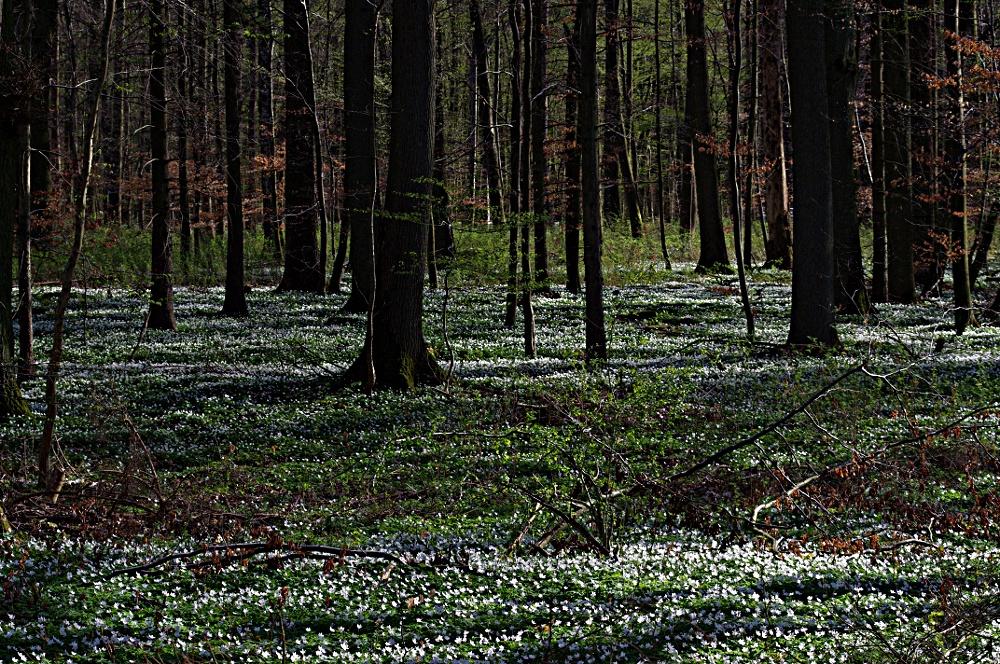 Buschwindröschen Teppich (Forum für Naturfotografen)