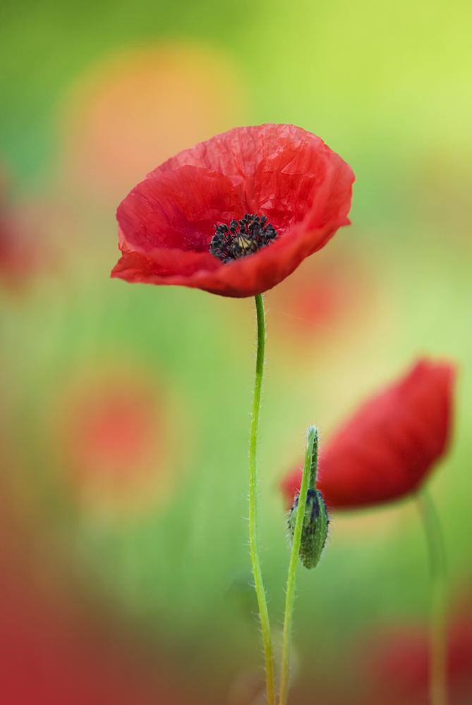 Impression einer Mohnblume (Forum für Naturfotografen)