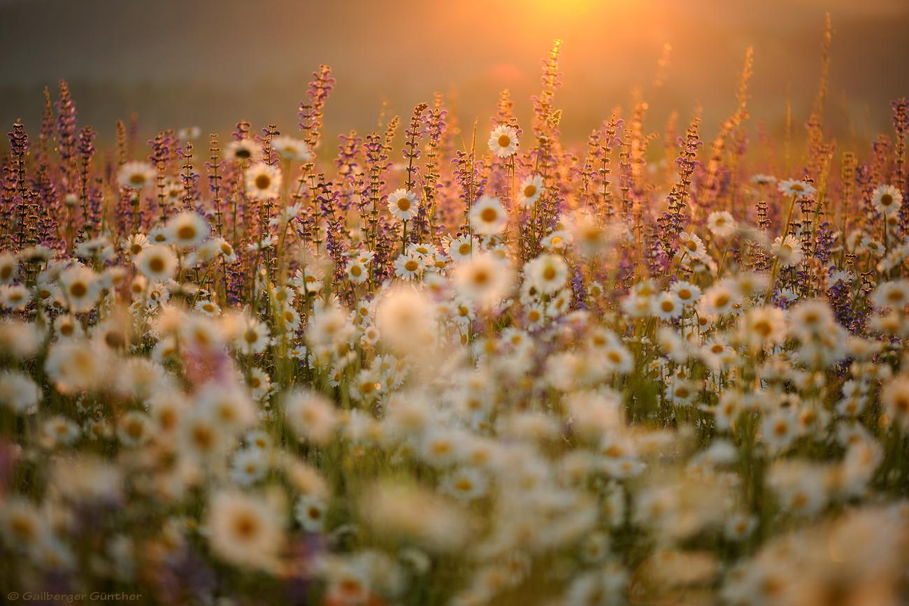 ~ Blumenwiese ~ (Forum für Naturfotografen)