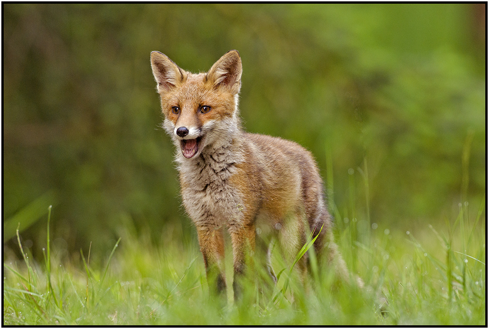 Lachender Fuchs