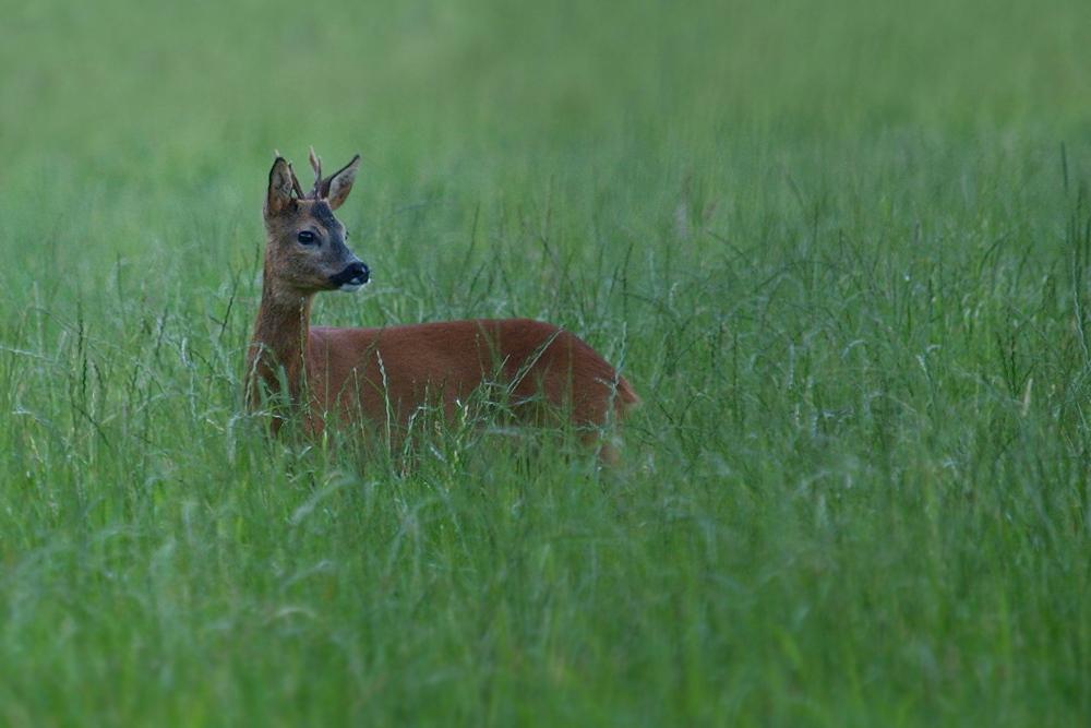 Junger Bock (Forum für Naturfotografen)