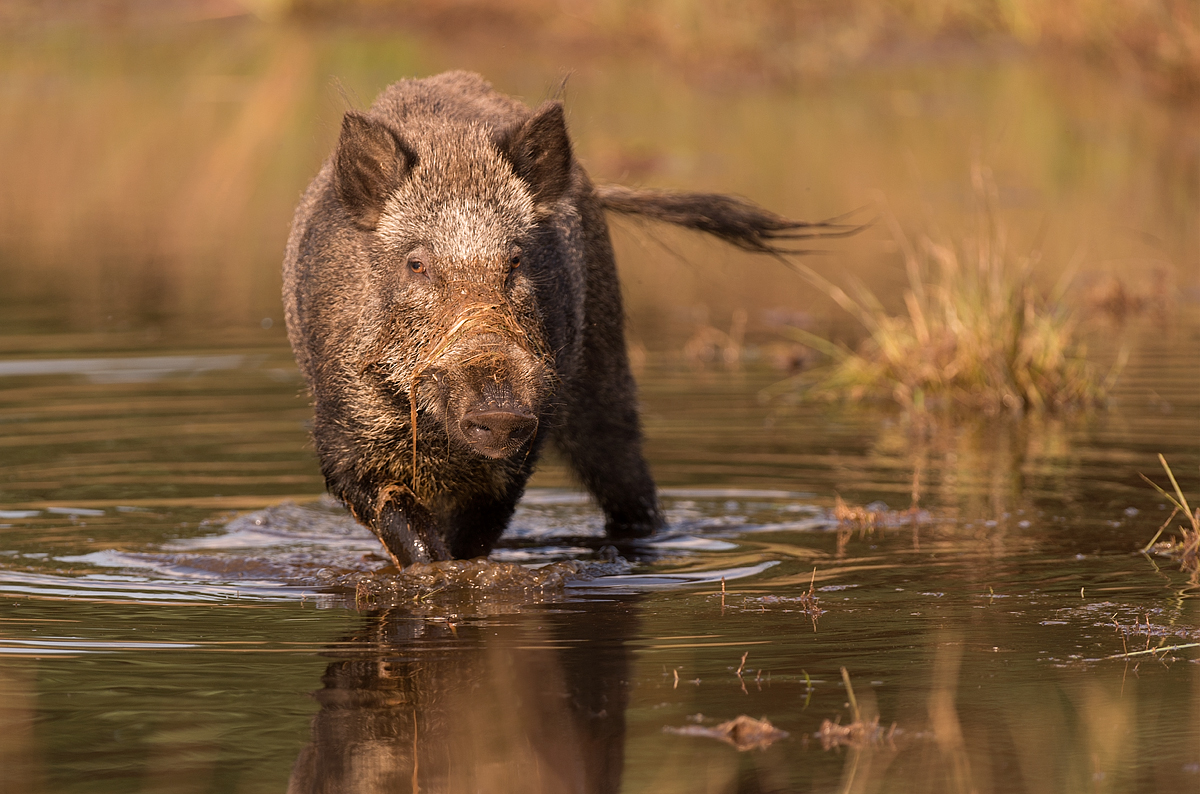 Wild boar part II