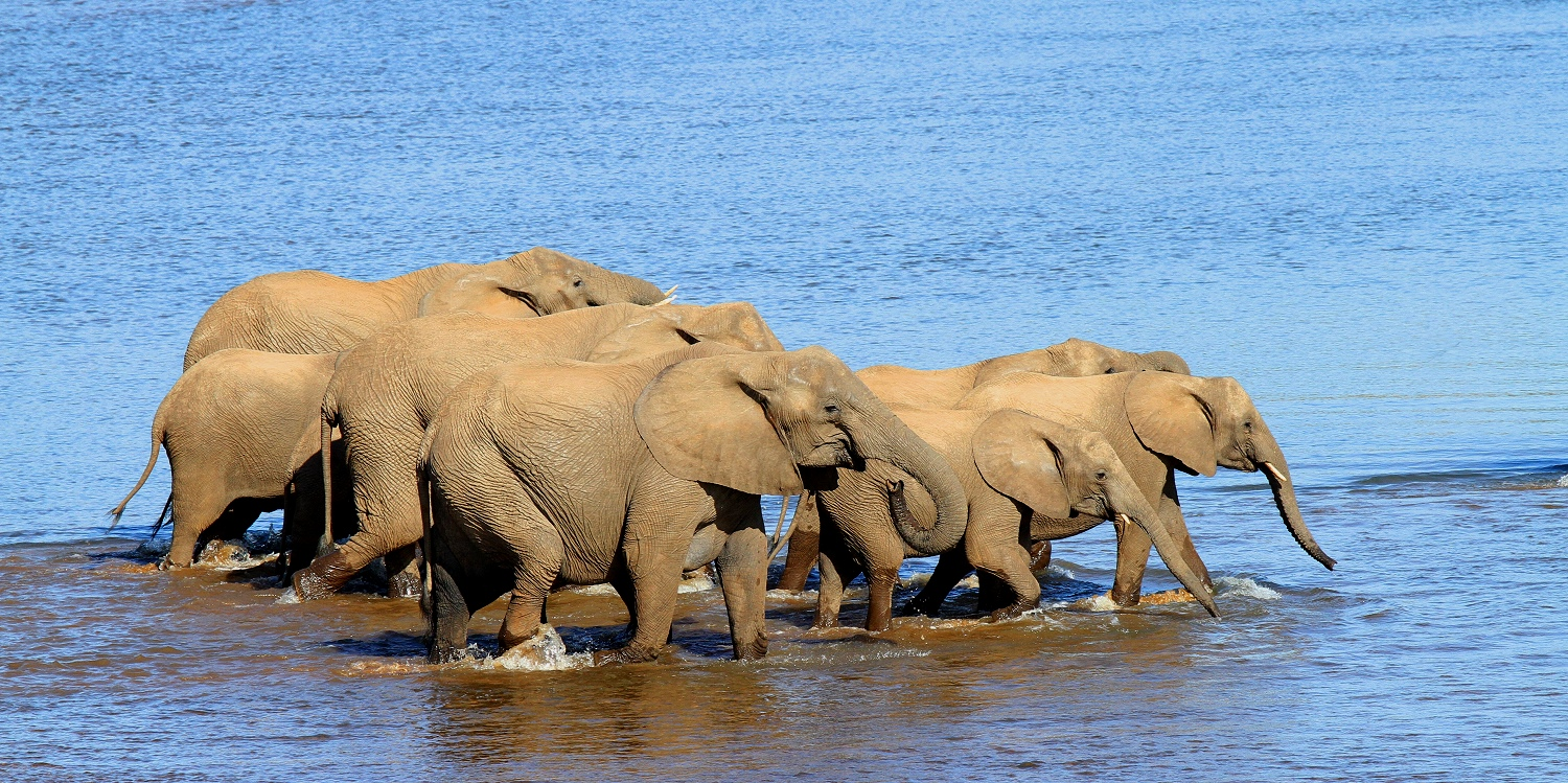 Elephants crossing Olifants River - RSA