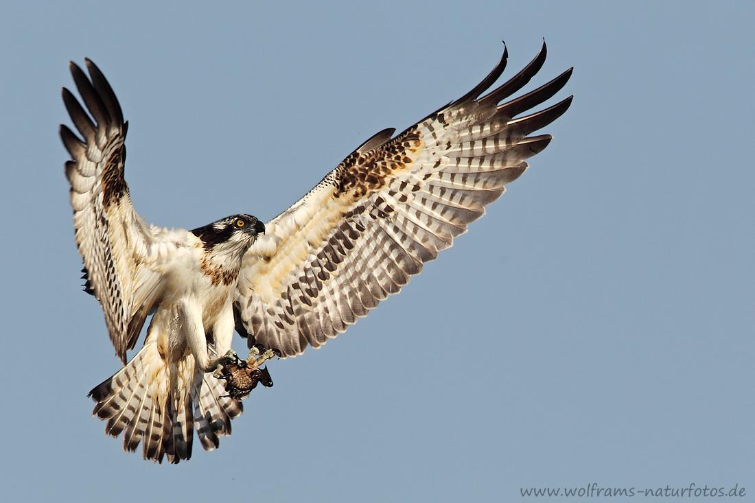 Fischadler (Forum für Naturfotografen)