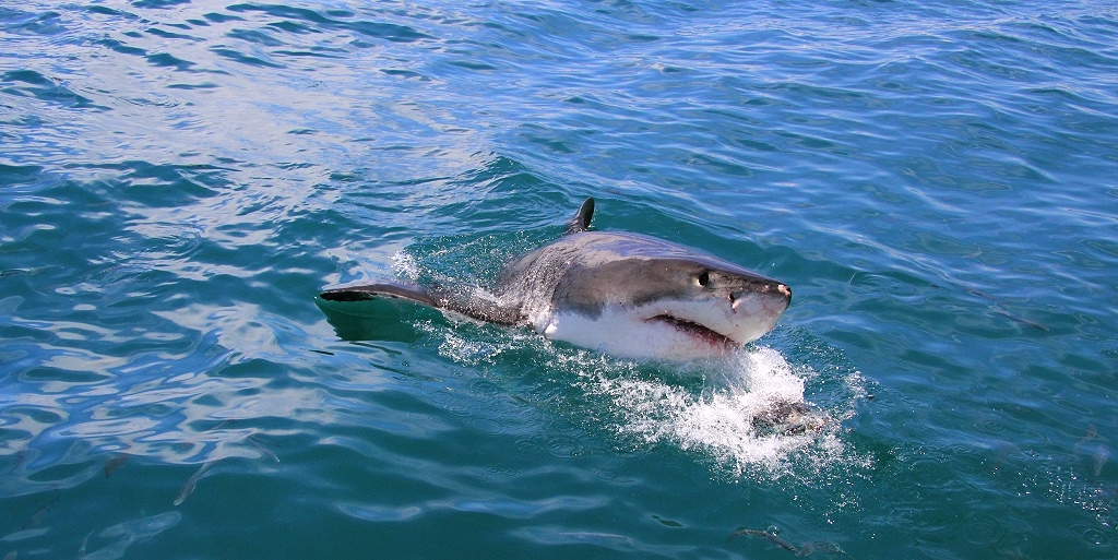 Grösster Weisser Hai