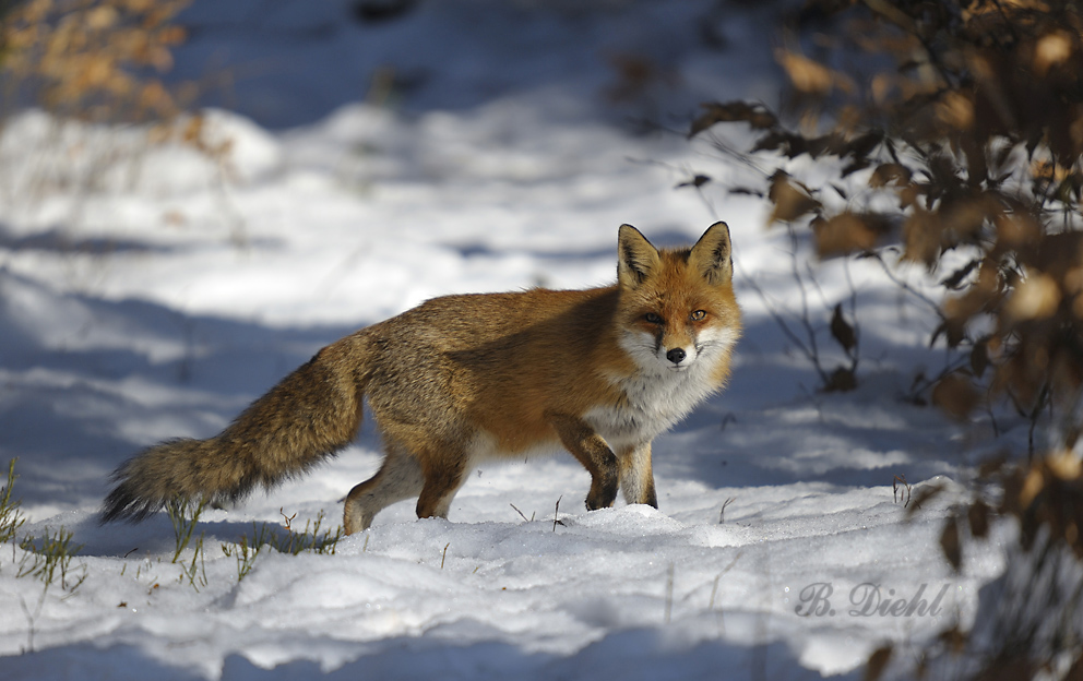 Rotfuchs Im Schnee Forum F 252 R Naturfotografen