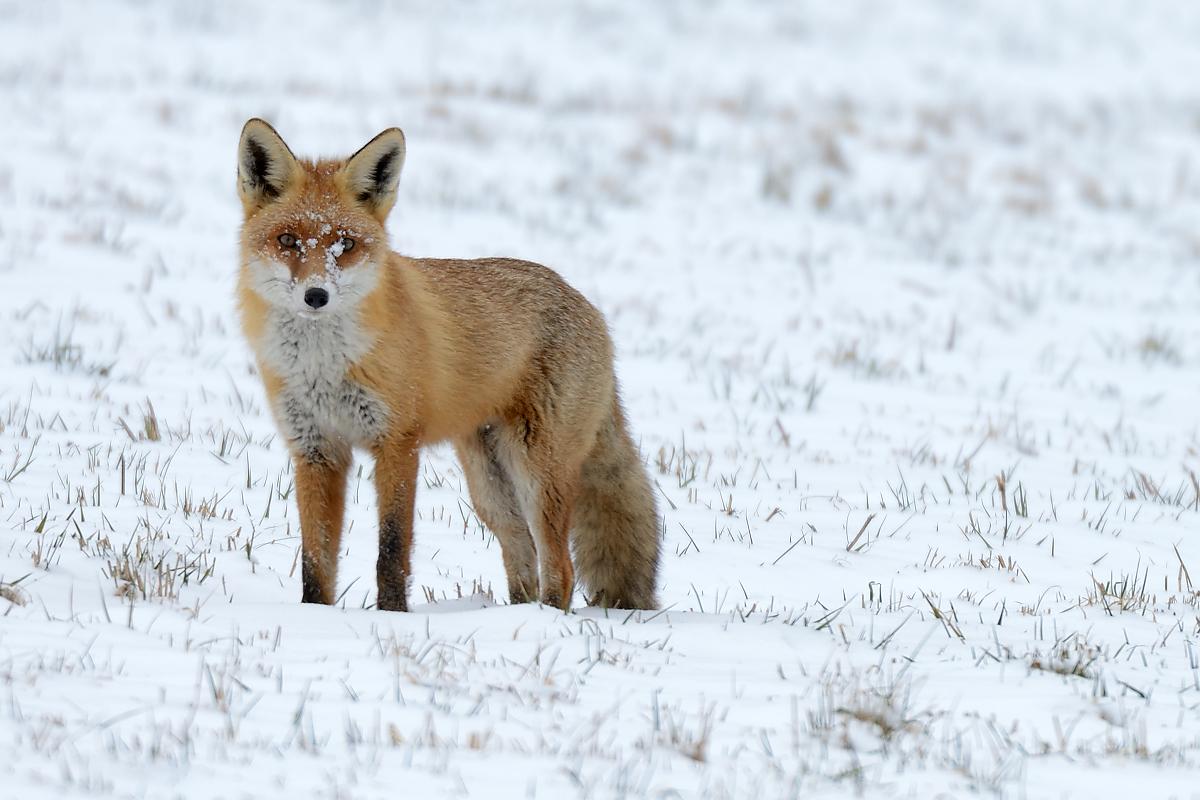 Mein Erster Fuchs Forum F 252 R Naturfotografen