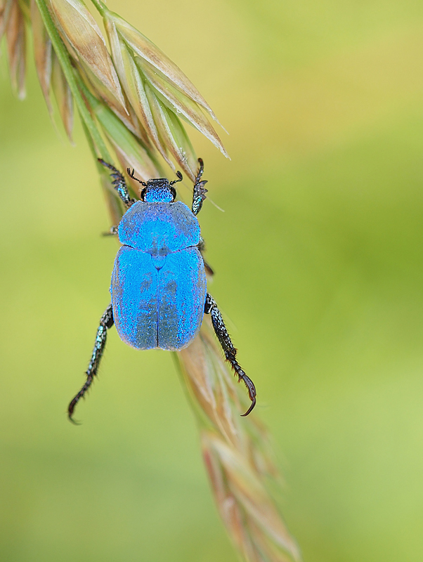 BLUE IS BEAUTIFUL...(Hoplia coerulea)