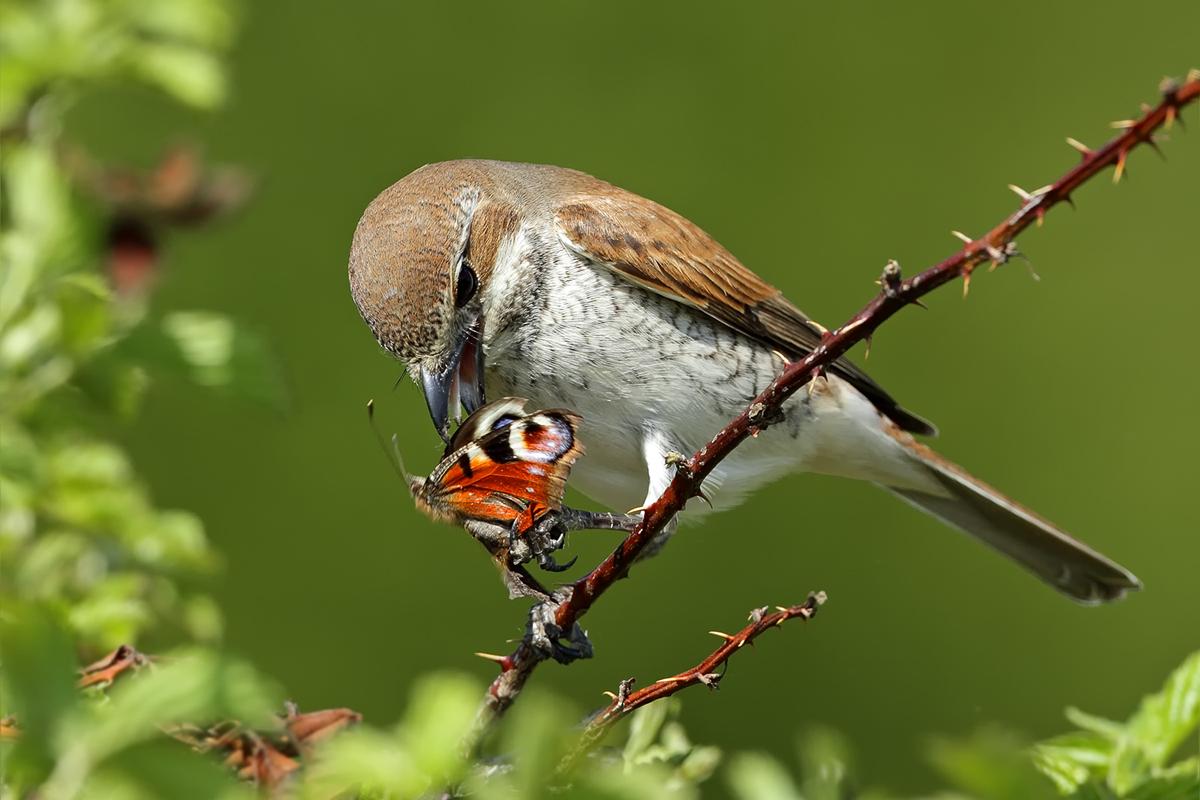 Neuntöter Weibchen ... (Forum für Naturfotografen)