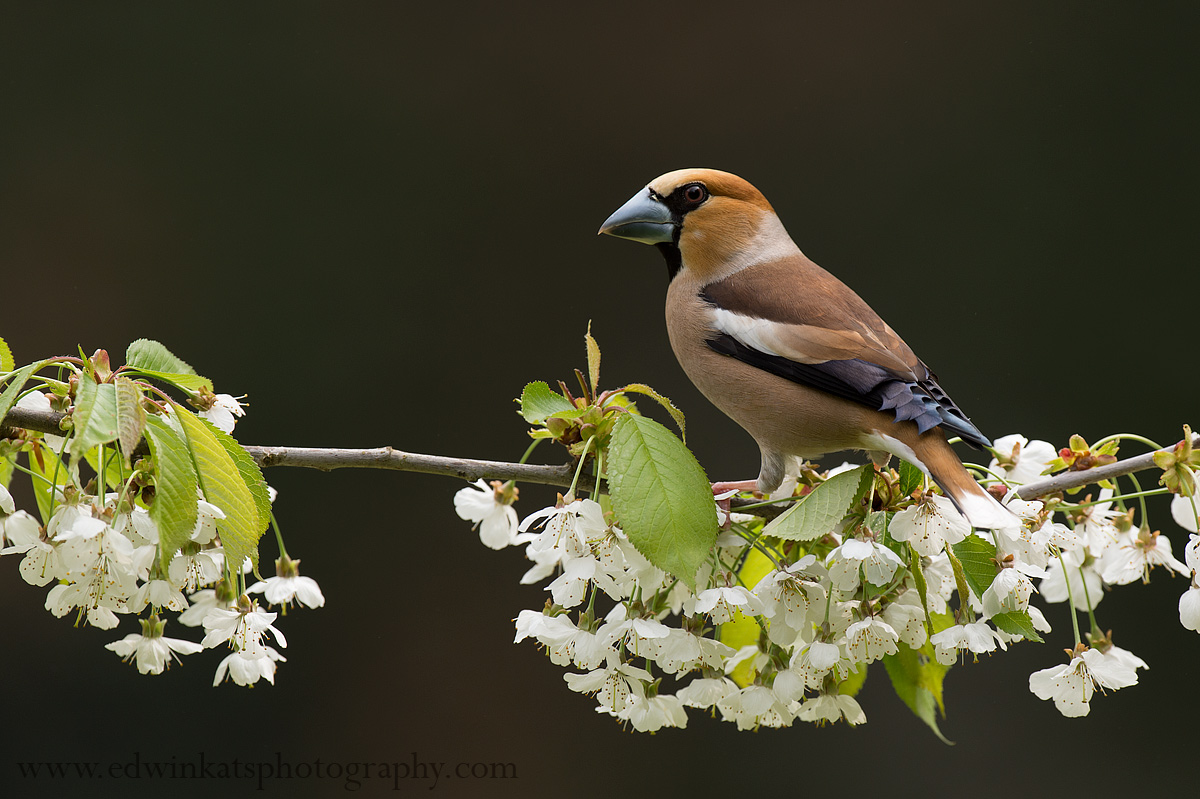 Hawfinch amongst cherrie blossom