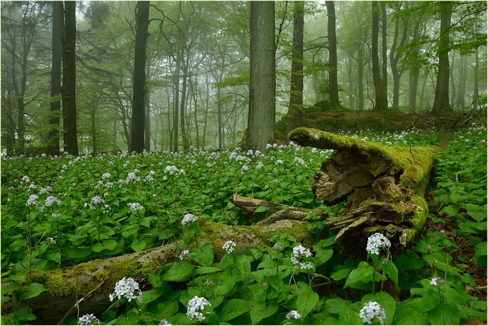 Im Wald der Mondviolen...