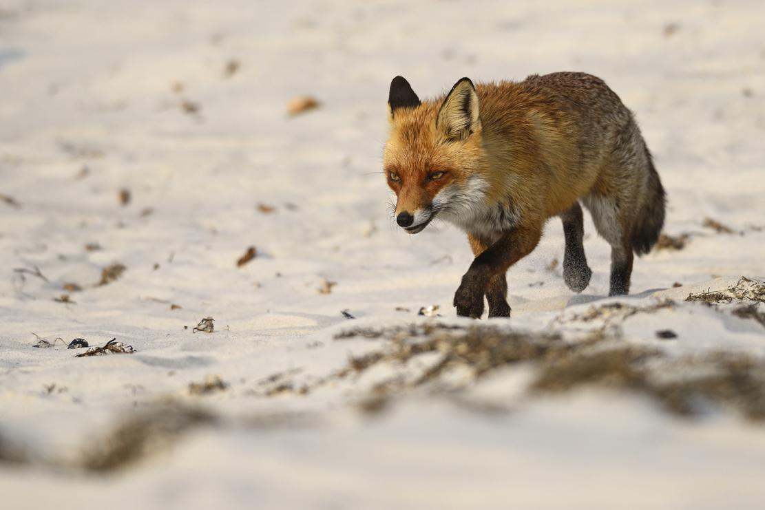 Darsser Strandfuchs Forum für Naturfotografen
