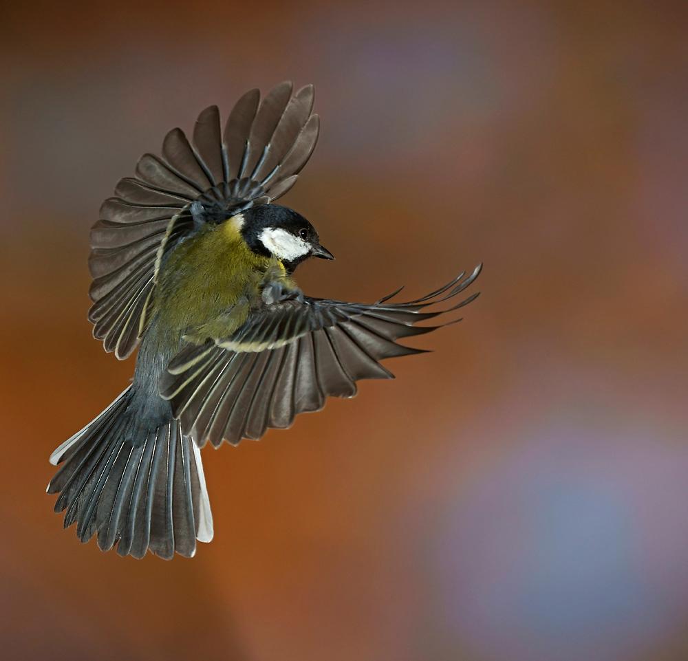 kohlmeise forum für naturfotografen