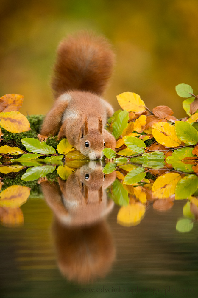 Red squirrel Sciurus vulgaris, leaping through autumn forest, Netherlands, October