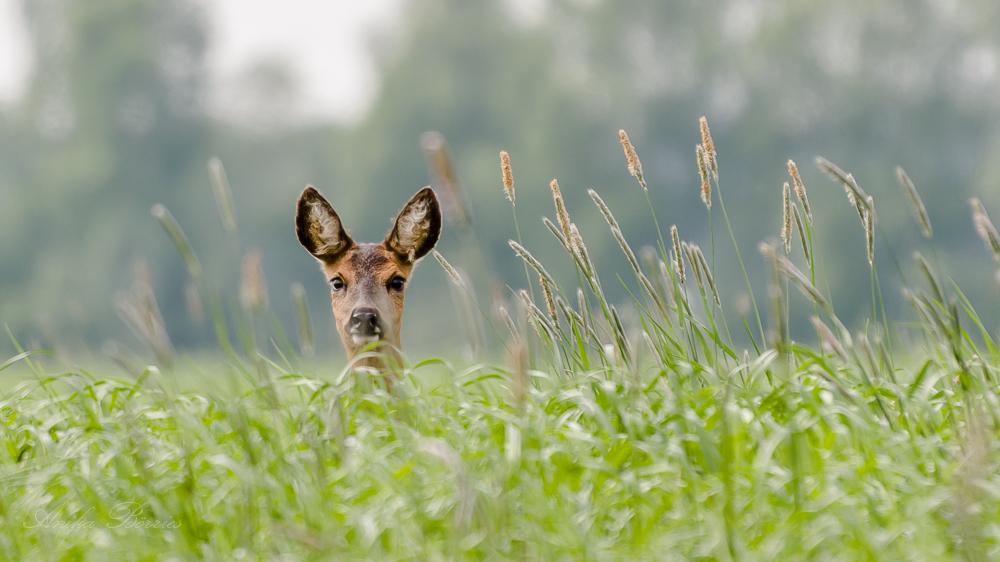 Ricke Im Hohen Gras Forum Für Naturfotografen