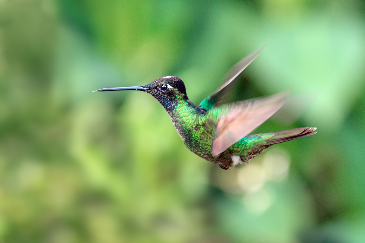 Magnificent Hummingbird (2)