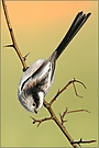 Schwanzmeise (Aegethalos caudatus)
