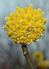 Edgeworthia crysantha 'Grandiflora' 2