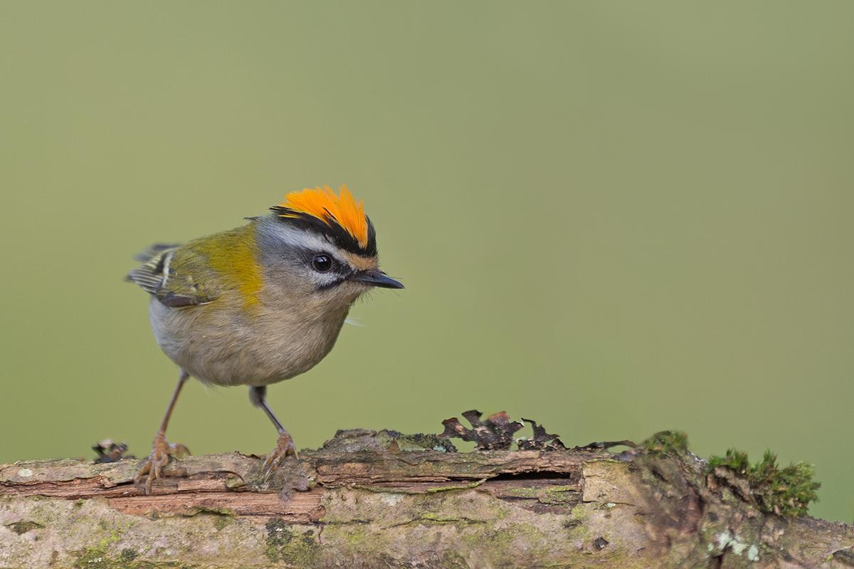 Sommergoldhähnchen Forum für Naturfotografen