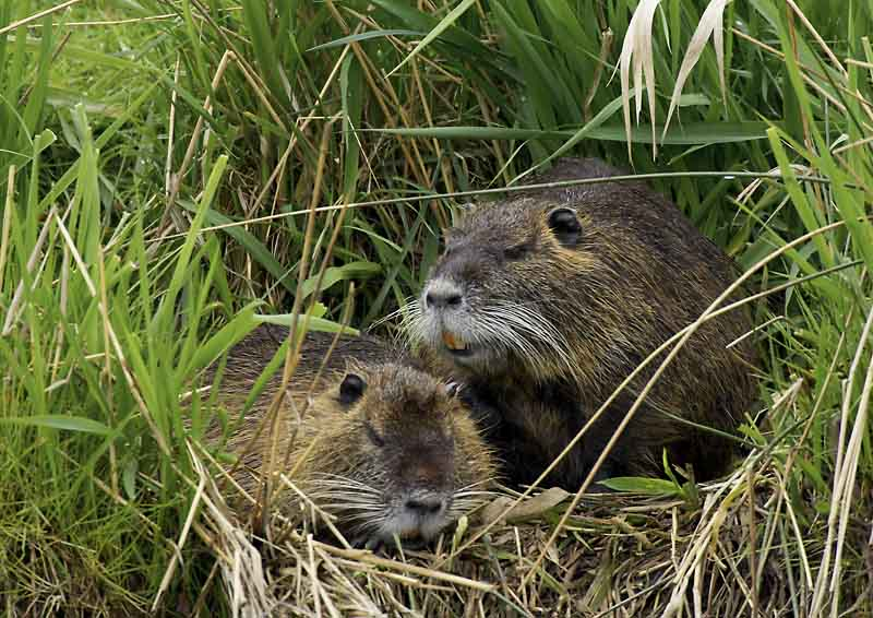 Nutria,  Myocastor coypus  ND