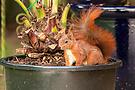 Eichhörnchen im Blumentopf