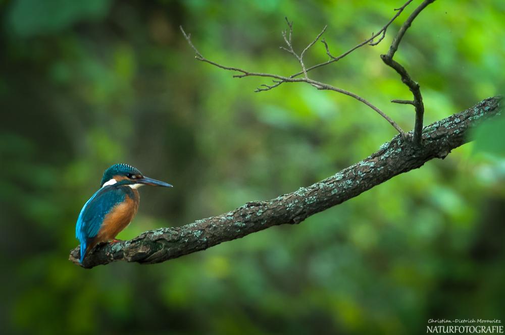 Eisvogel am ansitz forum f r naturfotografen for An und verkauf gebrauchtmobel