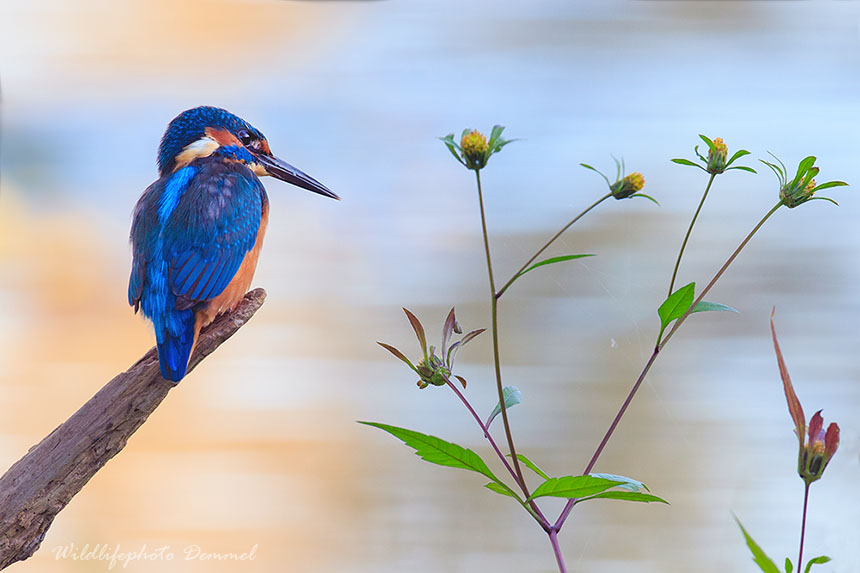 kingfisher in autum