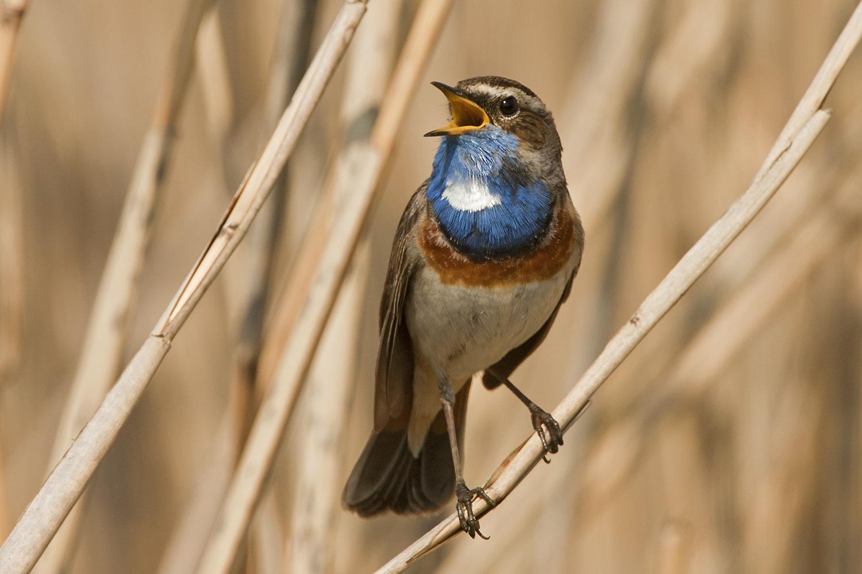 Singendes weißsterniges Blaukehlchen im Schilf Forum für Naturfotografen