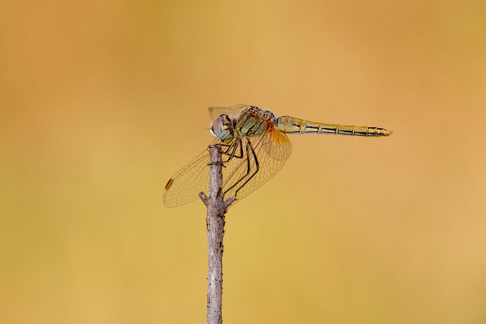 Sympetrum fonscolombii ND