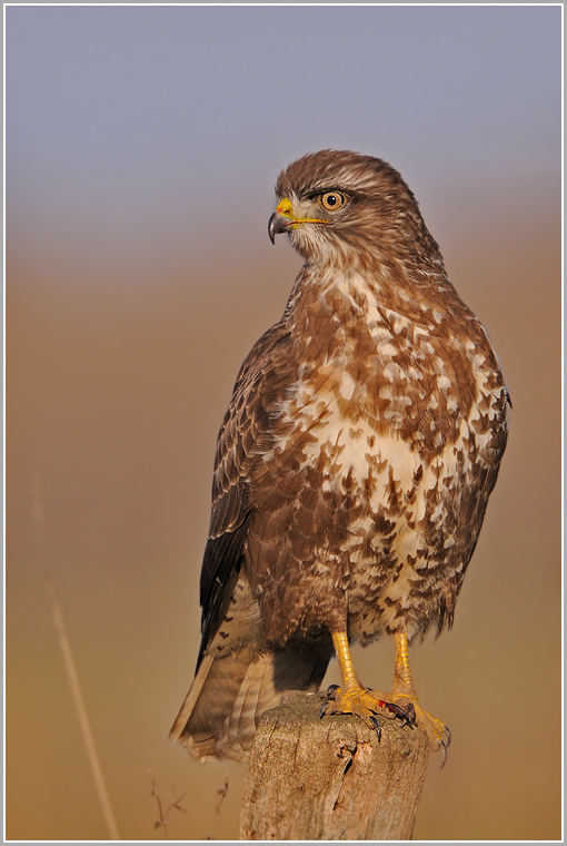 Bussard (wildlife (ND))