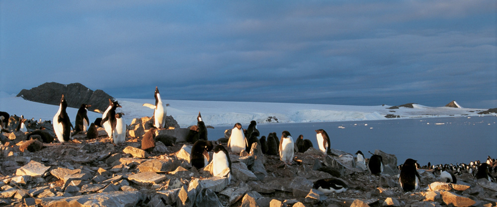 Adeliepinguine an der Hope Bay, Antarktis