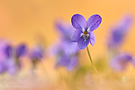 Evening Violets