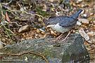Wasseramsel (Cinclus cinclus) Jungvogel mit Fischchen